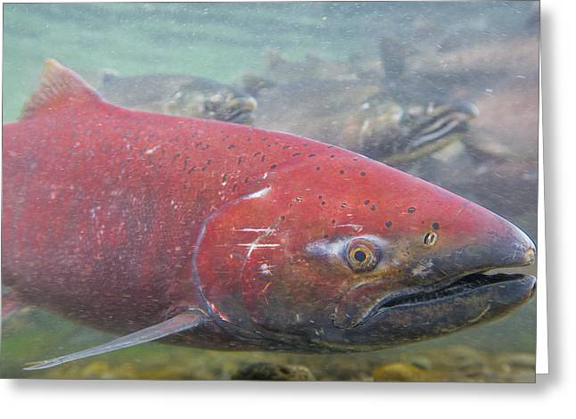 Chinook Salmon Greeting Cards - Chinook Salmon Up Close Greeting Card by Tim Grams
