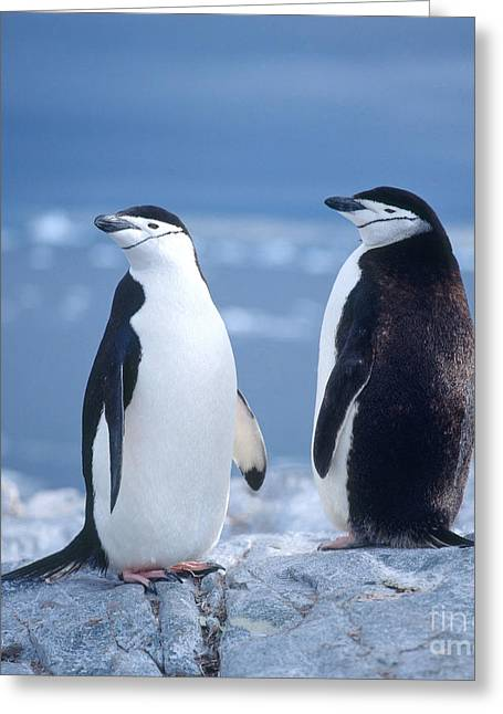 Seabirds Greeting Cards - Chinstrap Penguin Greeting Card by Hans Reinhard