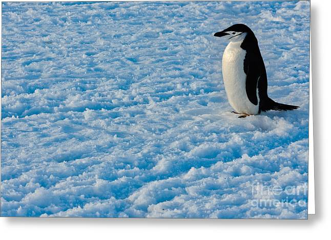 Chinstrap Penguin Greeting Card by John Shaw