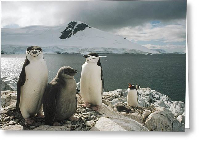 Seabirds Greeting Cards - Chinstrap Penguins With Chick Paradise Greeting Card by Tui De Roy