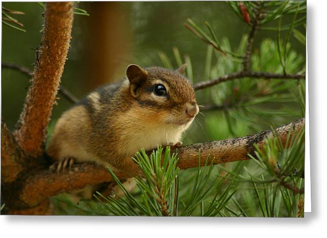 In A Tree Greeting Cards - Chip Greeting Card by Shane Holsclaw