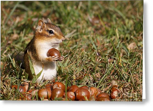 Cute Pyrography Greeting Cards - Chipmunk hits the jackpot Greeting Card by Rebecca Brooks