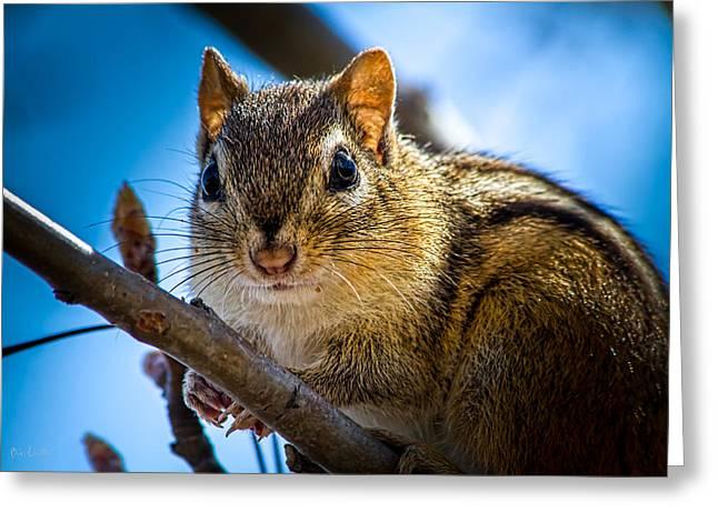 Chipmunk On A Branch Greeting Card by Bob Orsillo
