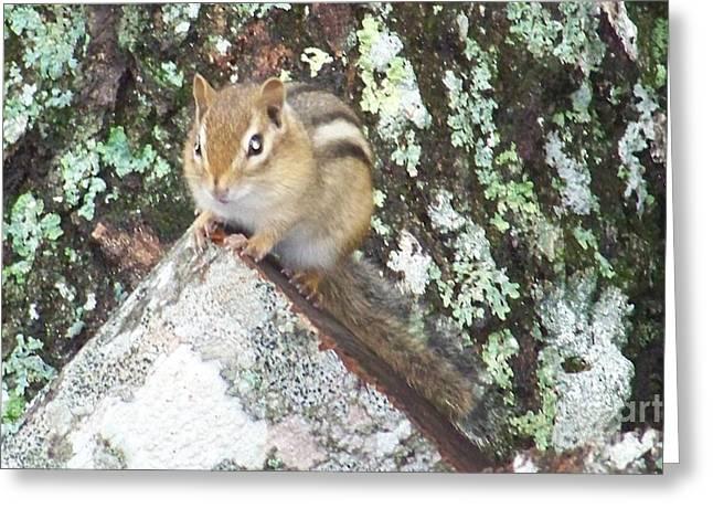 Bobcat On Log Greeting Cards - Chipmunk on a log Greeting Card by Joseph Marquis