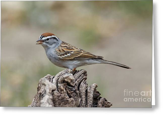 Chipping Sparrow Greeting Card by Anthony Mercieca