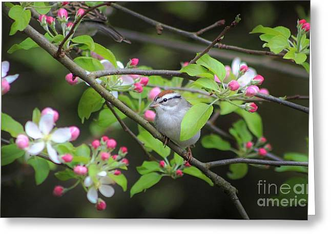 Chipping Sparrow Greeting Card by Benanne Stiens