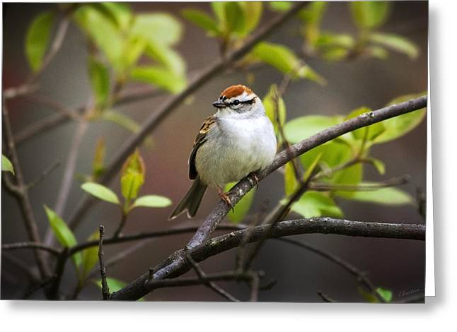Chipping Sparrow Greeting Card by Christina Rollo