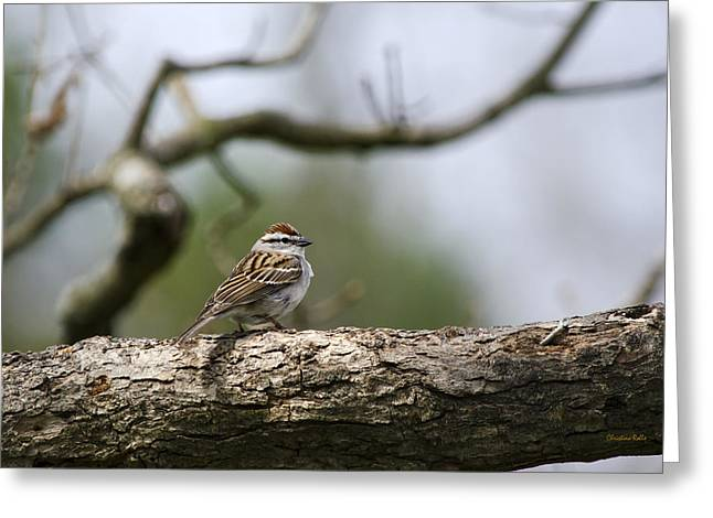 Bird In Tree Greeting Cards - Chipping Sparrow in a Tree Greeting Card by Christina Rollo