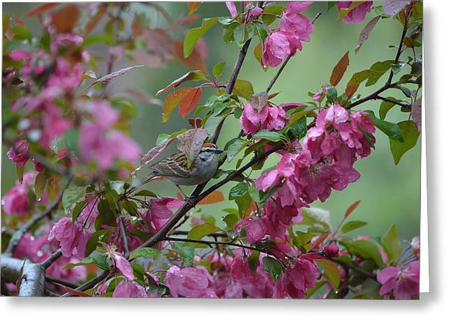 Maine Greeting Cards - Chipping Sparrow Greeting Card by James Petersen