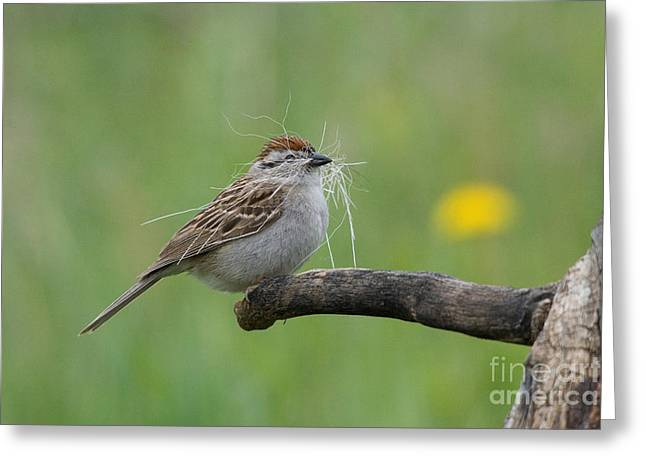Chipping Sparrow Greeting Cards - Chipping Sparrow Greeting Card by Linda Freshwaters Arndt