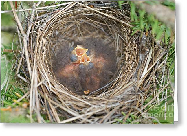 Chipping Sparrow Greeting Cards - Chipping Sparrow Nestlings Greeting Card by Linda Freshwaters Arndt