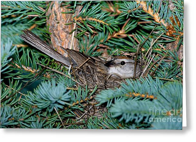 Chipping Sparrow Greeting Cards - Chipping Sparrow On Nest Greeting Card by Anthony Mercieca