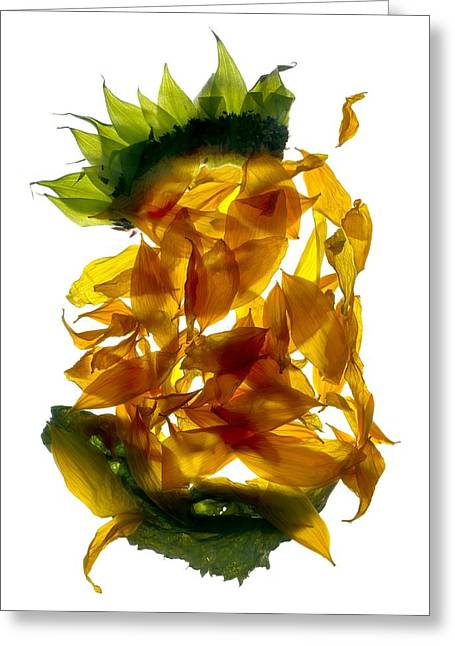 Tasteful Digital Art Greeting Cards - Chiquita Sunflower Greeting Card by Julia McLemore