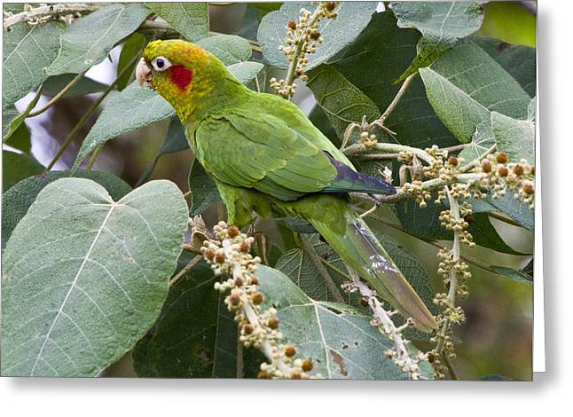 Parakeet Greeting Cards - Chiriqui Conure 2 Greeting Card by Heiko Koehrer-Wagner