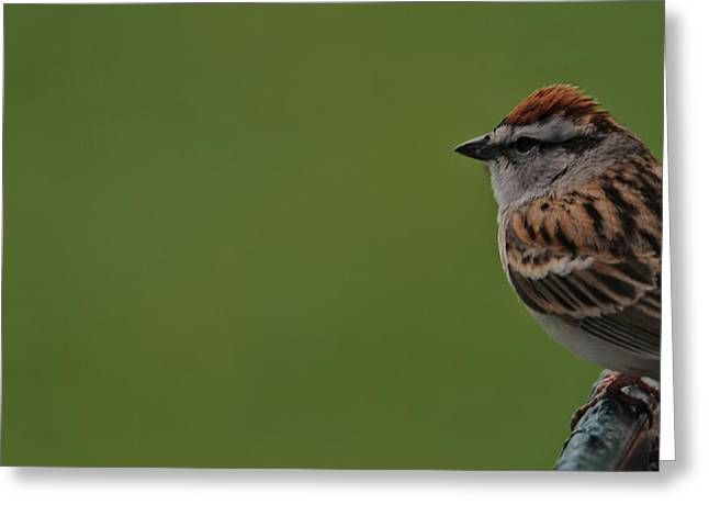 Sparrow Greeting Cards - Chirping Sparrow On Green Greeting Card by Dan Sproul