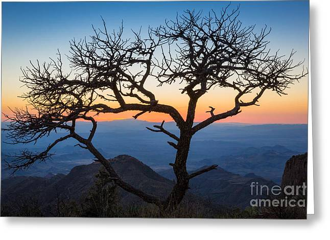 South Rim Greeting Cards - Chisos Tree Greeting Card by Inge Johnsson
