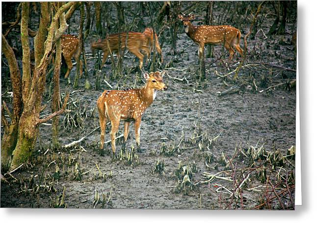 Chital Deer (axis Axis Greeting Card by Connie Bransilver