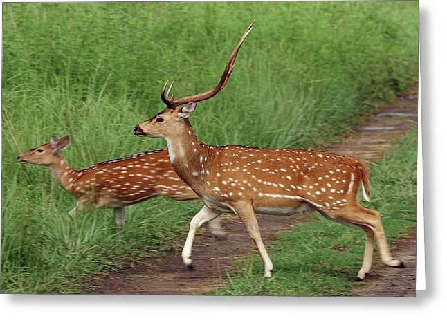 Chitals Crossing The Track,corbett Greeting Card by Jagdeep Rajput