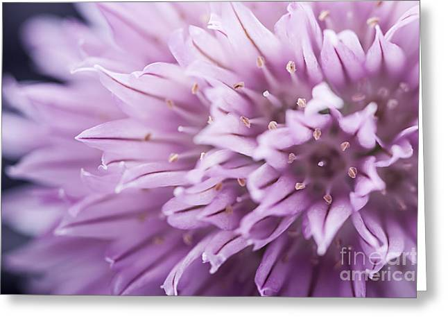 Chives Greeting Cards - Chives flower Greeting Card by Elena Elisseeva