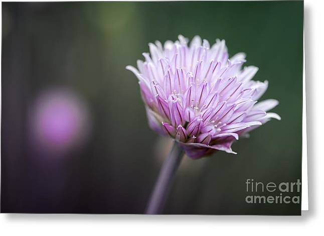Chives Greeting Cards - Chives flower macro Greeting Card by Elena Elisseeva