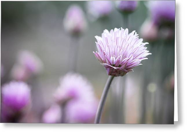 Chives Greeting Cards - Chives flowering I Greeting Card by Elena Elisseeva