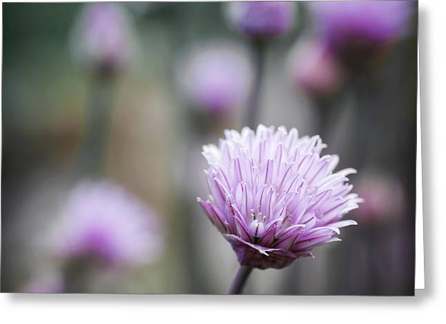 Chives Greeting Cards - Chives flowering II Greeting Card by Elena Elisseeva