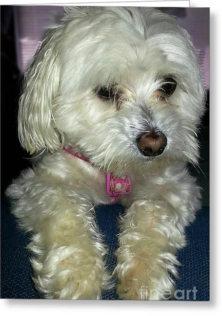 Toy Maltese Greeting Cards - Chloe2 Greeting Card by Emmy Marie Vickers