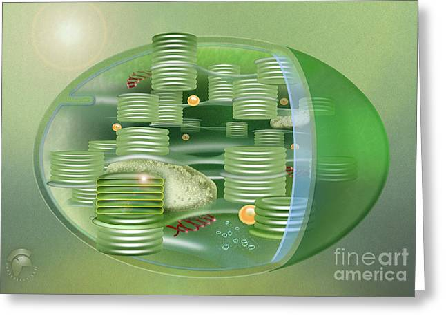 Chloroplast - Basis Of Life - Plant Cell Biology - Chloroplasts Anatomy - Chloroplasts Structure Greeting Card by Urft Valley Art