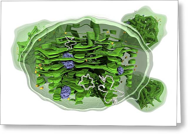 Chloroplast Greeting Cards - Chloroplast structure, artwork Greeting Card by Science Photo Library