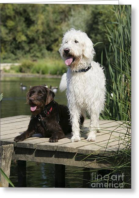 Wooden Platform Greeting Cards - Chocolate And Cream Labradoodles Greeting Card by John Daniels