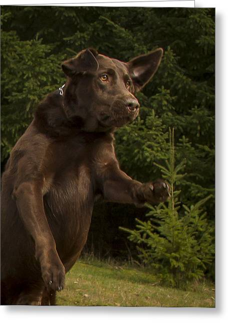 Chocolate Lab Greeting Cards - Chocolate Lab Drama Greeting Card by Jean Noren