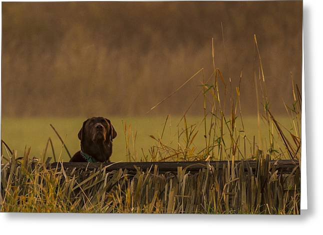 Oregon Ducks Greeting Cards - Chocolate Lab Hunting Ducks Greeting Card by Jean Noren