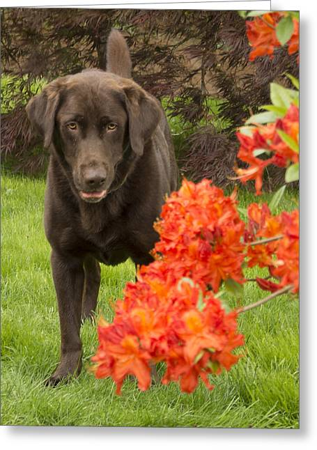 Chocolate Lab In Azaleas  Greeting Card by Jean Noren