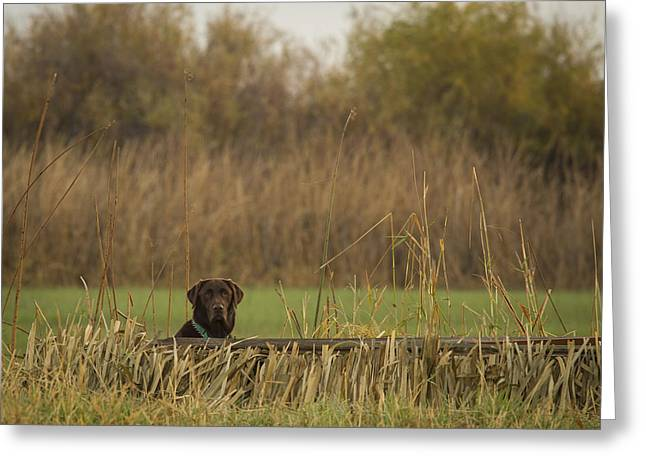 Concentration Greeting Cards - Chocolate Lab in the Field Greeting Card by Jean Noren