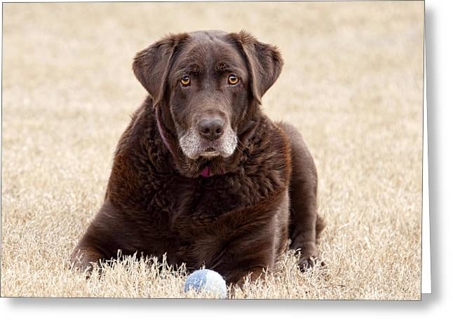Chocolate Lab Greeting Cards - Chocolate Lab Greeting Card by Laura Greene