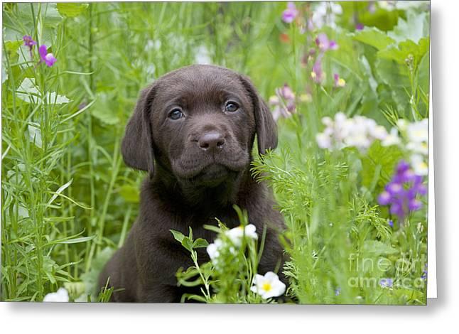 Chocolate Lab Greeting Cards - Chocolate Lab Puppy Dog Greeting Card by John Daniels