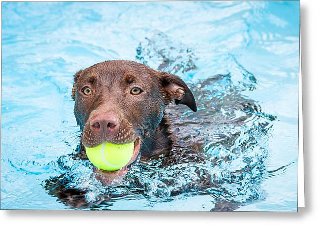 Chocolate Lab Greeting Cards - Chocolate Lab Puppy Swimming Greeting Card by Eleanor Abramson