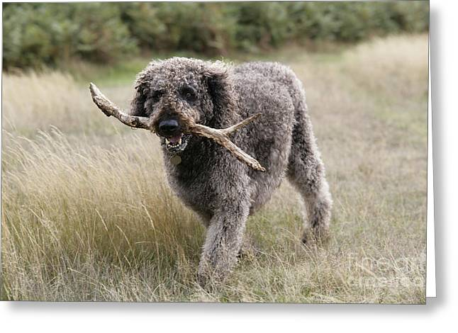Labradoodle Greeting Cards - Chocolate Labradoodle Greeting Card by John Daniels