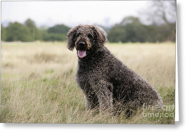 Labradoodle Greeting Cards - Chocolate Labradoodle Sitting In Field Greeting Card by John Daniels