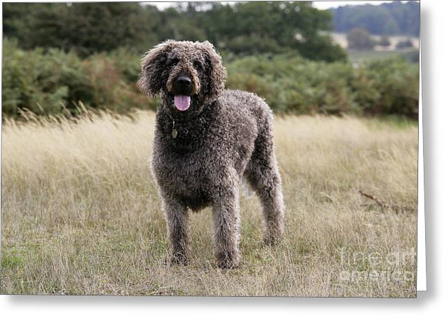 Labradoodle Greeting Cards - Chocolate Labradoodle Standing In Field Greeting Card by John Daniels
