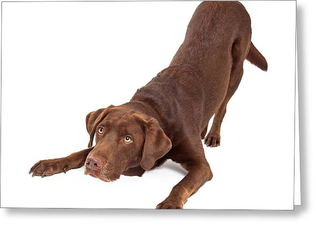 Guard Dog Greeting Cards - Chocolate Labrador Dog Bowing and Looking Up Greeting Card by Susan  Schmitz