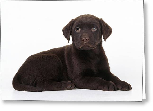Chocolate Lab Greeting Cards - Chocolate Labrador Dog Greeting Card by John Daniels