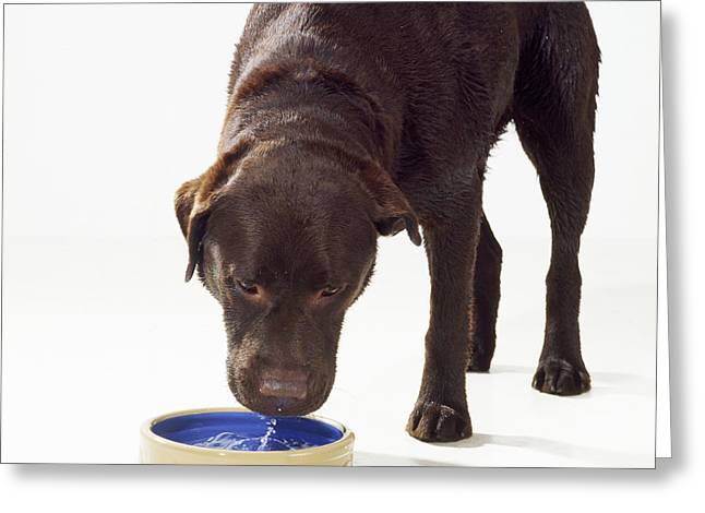 Chocolate Lab Greeting Cards - Chocolate Labrador Drinking Greeting Card by John Daniels