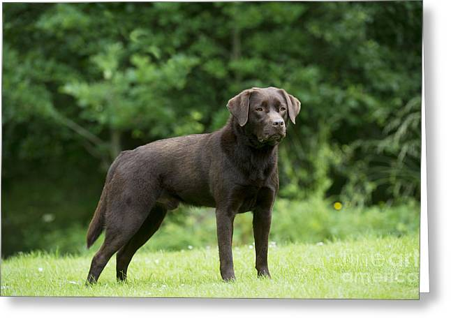 Chocolate Lab Greeting Cards - Chocolate Labrador Greeting Card by John Daniels
