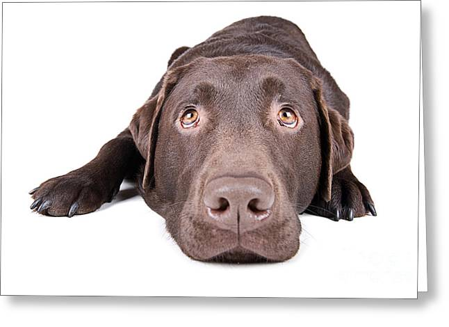 Chocolate Lab Greeting Cards - Chocolate Labrador Lying Down Greeting Card by Justin Paget