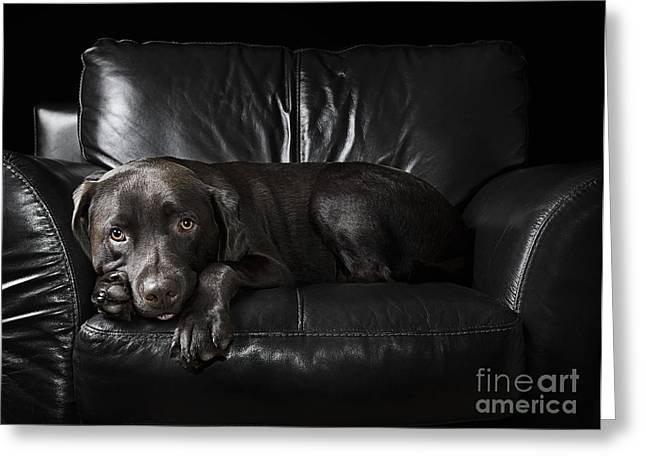 Bred Greeting Cards - Chocolate Labrador on Armchair Greeting Card by Justin Paget