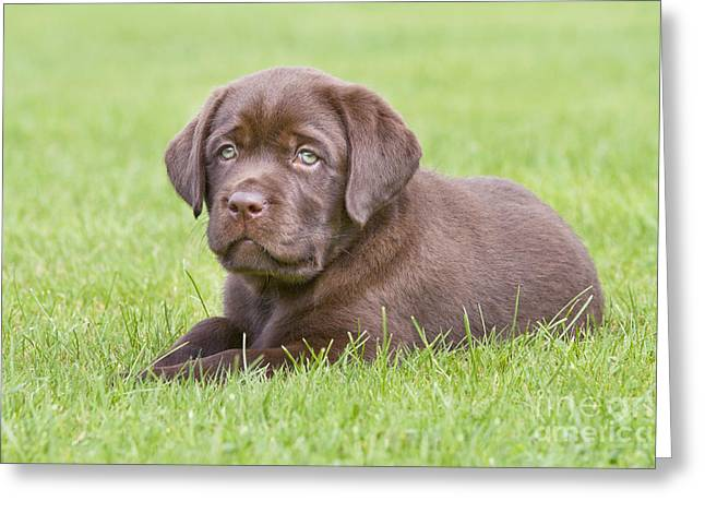 Chocolate Lab Greeting Cards - Chocolate Labrador Puppy Greeting Card by Johan De Meester