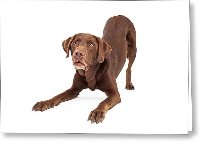 Guard Dog Greeting Cards - Chocolate Labrador Retriever Dog In Downdog Postion Greeting Card by Susan  Schmitz