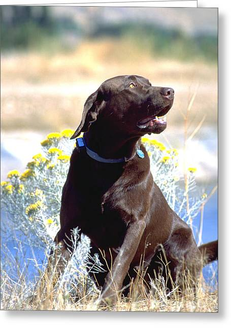 Chocolate Lab Greeting Cards - Chocolate Labrador Retriever Male 5 Greeting Card by William H. Mullins