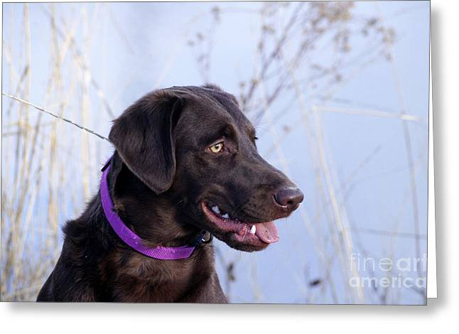 Chocolate Lab Greeting Cards - Chocolate Labrador Retriever Greeting Card by William H. Mullins